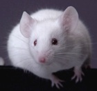 rodent mouse